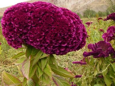 گیاه بستان افروز (گل تاجخروسی)