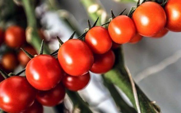 گوجه فرنگی مفید یا مضر؟