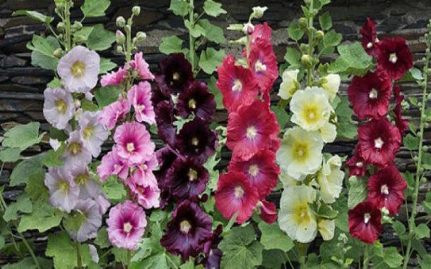 کاربرد گل ختمی در درمان بیماری ها